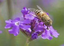 Kwiat komarnicy karmienie na purpurze Elizabeth Earle kwitnie w ogr?dzie zdjęcia royalty free