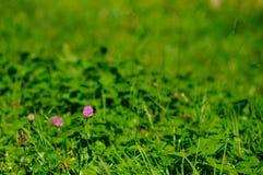 kwiat koniczynowe menchie Zdjęcie Royalty Free