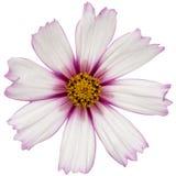 Kwiat kosmos, kosmeya kwiat, odizolowywający na białym tle fotografia royalty free