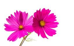 Kwiat kosmos odizolowywający fotografia royalty free
