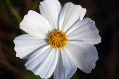 kwiat kosmosu Obraz Royalty Free