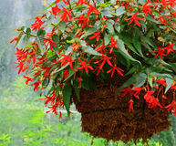 kwiat koszykowego wiszące Zdjęcia Royalty Free
