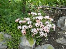 Kwiat kukurudza Zdjęcia Royalty Free