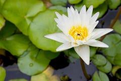 Kwiat kwiat lotosu zdjęcia i sama malować akwarele białe Obrazy Stock