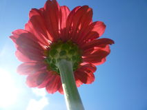 kwiat kwitnąca czerwień Obrazy Stock