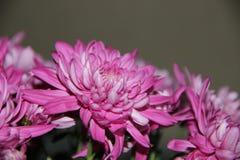 kwiat kwitnące menchie Zdjęcia Royalty Free