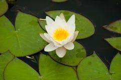 kwiat kwitnie pełnego lato Zdjęcia Royalty Free