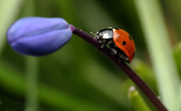kwiat ladybird Obrazy Royalty Free