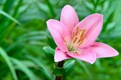 kwiat leluja obrazy stock