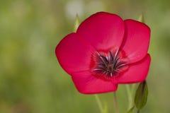 Kwiat len Zdjęcia Royalty Free