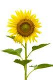 kwiat liści odizolowane pnia mózgu biały słonecznikowego żółty Fotografia Stock