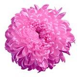 Kwiat lila chryzantema odizolowywająca na białym tle zamknięty pączkowy zamknięty kwiat bell świątecznej element projektu Fotografia Stock