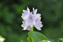 kwiat lilly Zdjęcia Stock
