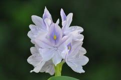 kwiat lilly Obraz Royalty Free