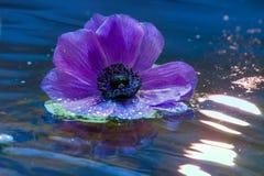 Kwiat lily anemon na wodnej powierzchni zdjęcia stock