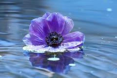 Kwiat lily anemon na wody powierzchni fotografia royalty free