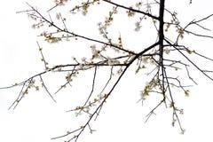 kwiat śliwka Zdjęcia Royalty Free