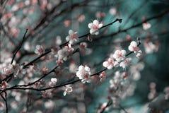 kwiat śliwki Zdjęcie Royalty Free