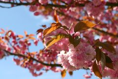 kwiat śliwki Obrazy Royalty Free