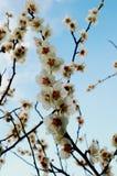kwiat śliwkowy white Zdjęcia Royalty Free