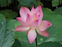 Kwiat lotos Zdjęcia Royalty Free