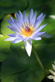 kwiat lotos Fotografia Royalty Free