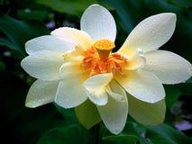 kwiat lotos Obraz Royalty Free