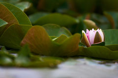 kwiat lotos Zdjęcia Stock