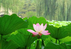 kwiat lotos bloom Obraz Royalty Free