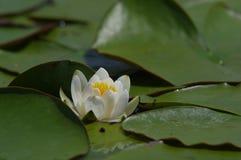 3 kwiat lotosu Obraz Royalty Free
