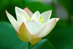 kwiat lotosu blisko widok Obrazy Royalty Free