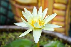 kwiat lotosu zdjęcia i sama malować akwarele białe Zdjęcia Royalty Free