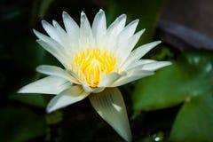 kwiat lotosu zdjęcia i sama malować akwarele białe Obraz Stock