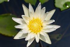 kwiat lotosu zdjęcia i sama malować akwarele białe Obrazy Stock