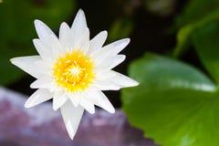 kwiat lotosu zdjęcia i sama malować akwarele białe zdjęcie royalty free