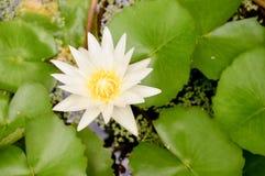 kwiat lotosu zdjęcia i sama malować akwarele białe Obrazy Royalty Free