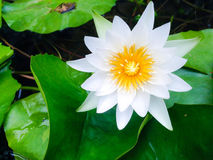 kwiat lotosu zdjęcia i sama malować akwarele białe Zdjęcia Stock