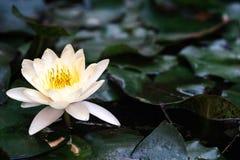 kwiat lotosu zdjęcia i sama malować akwarele białe Obraz Royalty Free