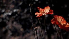 Kwiat magia Maczek pączkuje w wszystkie swój chwale Maczek, inny pączek na sposobie zbiory wideo