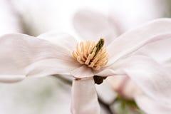 kwiat magnolia Zdjęcie Stock