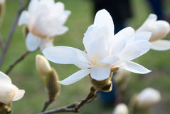 kwiat magnolia Fotografia Royalty Free