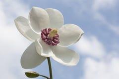 Kwiat magnoliowy siboldii Zdjęcia Stock