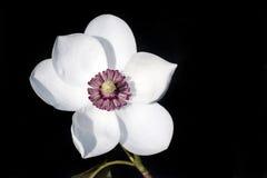 Kwiat magnoliowy sieboldii Zdjęcia Royalty Free
