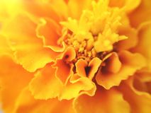 Kwiat Makro- Zdjęcia Stock