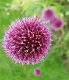 Kwiat Makro- Obrazy Royalty Free