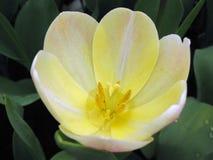 kwiat makro biały żółty Obraz Royalty Free