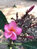 Kwiat menchie Obrazy Royalty Free