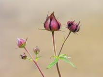 kwiat menchie zdjęcie stock