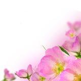 kwiat menchie zdjęcia stock