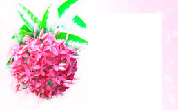 kwiat menchie Obrazy Stock